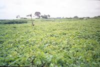 A field with crops, circa 1990